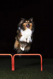 Shetland Sheepdog jumping over hurdle at night - STSF000544