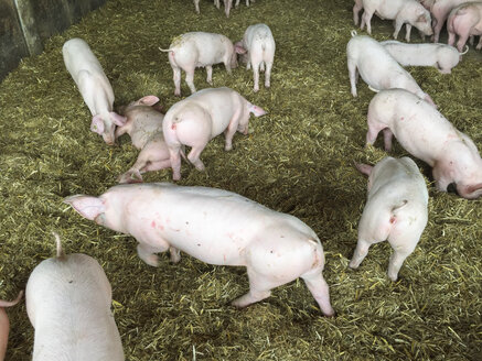 Pigs in pigsty - DRF001108