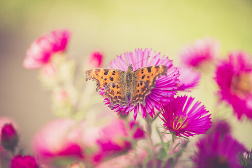 Butterfly sitting on blossom of pink aster - SARF000890