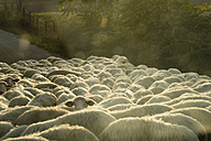 Italy, Tuscany, flock of sheep on a road - MYF000587
