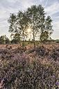 Germany, Lower Saxony, Heath district, Lueneburg Heath, Birch trees against the sun - PVCF000120