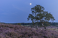 Germany, Lower Saxony, Heath district, Lueneburg Heath, evening twilight and moon - PVCF000132