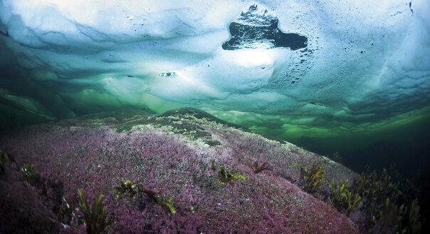 Russia, Arctic Circle Dive Centre, polar circle, algae under water - GNF001296