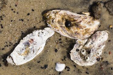 Pacific oysters, Crassostrea gigas, lying on sandy beach, close-up - SRF000795