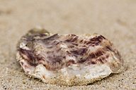 Pacific oyster, Crassostrea gigas, lying on sandy beach, close-up - SRF000796