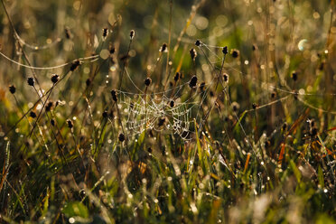 Germany, Spider web in the morning - JTF000580