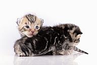 Two tabby kittens, Felis Silvestris Catus, on white ground - MJOF000836