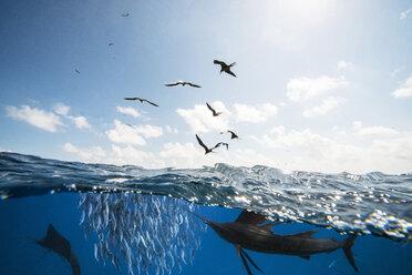 Mexico, Yucatan, Isla Mujeres, Caribbean Sea, Indo-Pacific sailfishes, Istiophorus platypterus, hunting sardines, Sardina pilchardus, Frigate birds - GNF001302