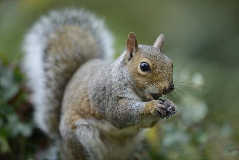 Grey squirrel, Sciurus carolinensis, eating - MJOF000846
