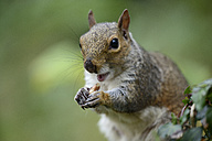 Grey squirrel, Sciurus carolinensis, eating a nut - MJOF000845