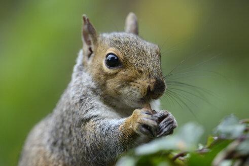 Grey squirrel, Sciurus carolinensis, eating - MJOF000844