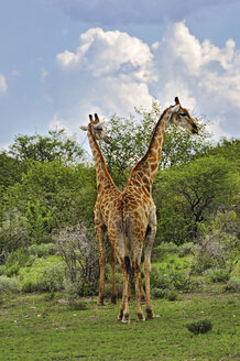 Namibia, Etosha National Park, two giraffes, Giraffa camelopardalis - MBF001217