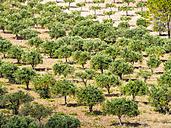 Italy, Sicily, olive tree plantation near Purgatorio - AMF003070