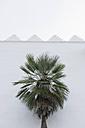 Spain, Balearic Islands, Mallorca, Mediterranean dwarf palm, Chamaerops humilis - HL000754