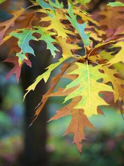 Germany, Hesse, Kronberg, autum leaves - MHF000340
