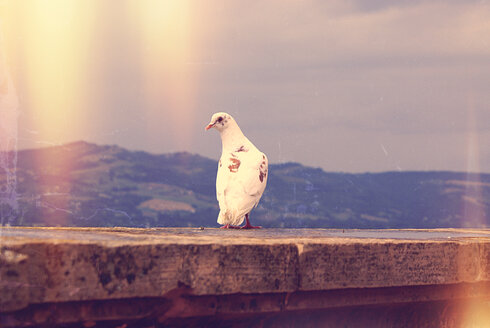 Italy, Gubbio, Pidgeon sitting on wall - LVF002129
