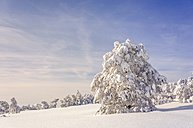 Germany, Baden-Wuerttemberg, Black Forest, snow-covered trees at Schliffkopf - PUF000118