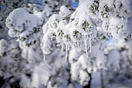 Snow-covered twig of fir with icicles - PUF000116