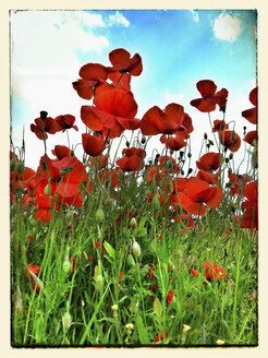 Germany, Poppy field in summer - CSF023150