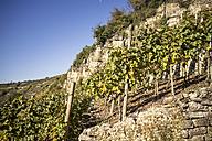 Germany, Baden-Wuerttemberg, Muehlhausen, vineyard in autumn - SBDF001401