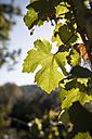 Vine leaf in backlit - SBDF001403