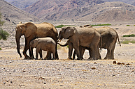 Africa, Namibia, Kaokoland, group of five African elephants, Loxodonta africana, at Hoanib River - ESF001440