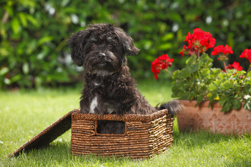 Bolonka Zwetna sitting in a basket on a meadow - HTF000505