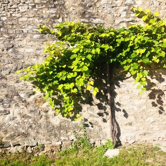 Grape vine at stone wall - GSF000926