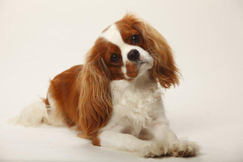 Portrait of Cavalier King Charles Spaniel lying in front of white background - HTF000516