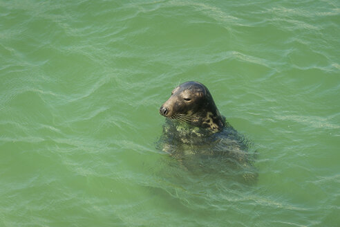 UK, England, Cornwall, St Ives, seal in the ocean - PAF001068