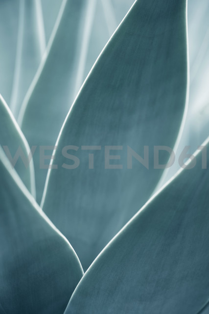 Close-up of an Agave attenuata - GUFF000002