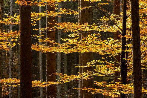 Germany, Bavaria, Bavarian Forest National Park, Autumn forest - STSF000566