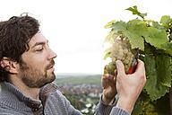 Germany, Bavaria, Volkach, winegrower cutting grapes - FKF000831