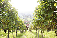 Germany, Bavaria, Volkach, man harvesting grapes in vineyard - FKF000779