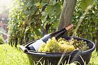 Germany, Bavaria, Volkach, harvested grapes and bottle of wine - FKF000785