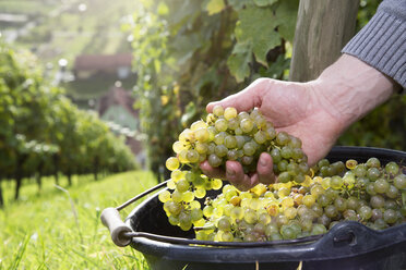 Germany, Bavaria, Volkach, hand in bucket with harvested grapes - FKF000788