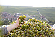 Germany, Bavaria, Volkach, hand in box with harvested grapes - FKF000794