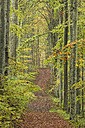 Germany, Baden-Wuerttemberg, Beech Forest, forest road in autumn - ELF001395