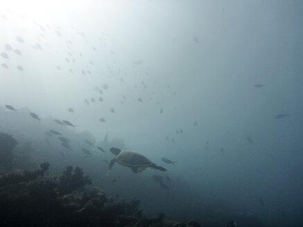 Hawksbill turtle, Ari Atoll Maldives - FLF000558
