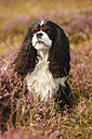 Cavalier King Charles Spaniel sitting on a meadow - HTF000530