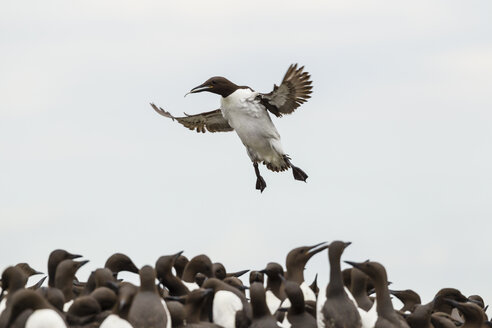 Great Britain, England, Northumberland, Farne Islands, Common Murres, Uria aalge - SRF000816