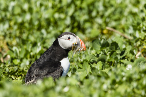 United Kingdom, England, Northumberland, Farne Islands, Atlantic puffin, Fratercula arctica - SRF000833