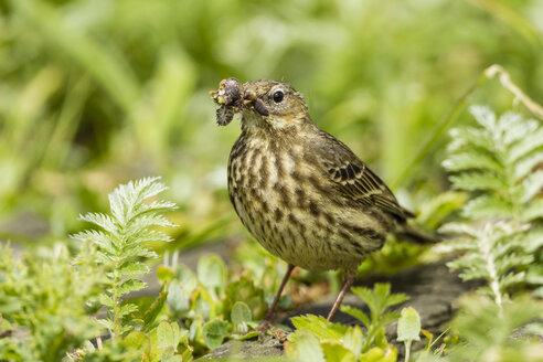 United Kingdom, England, Northumberland, Farne Islands, Meadow pipit, Anthus pratensis, with nest building material - SRF000851