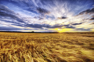 United Kingdom, Scotland, East Lothian, North Berwick, Barley field at sunset - SMAF000259