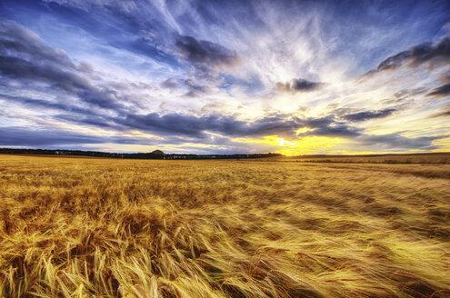 United Kingdom, Scotland, East Lothian, North Berwick, Barley field at sunset - SMAF000259