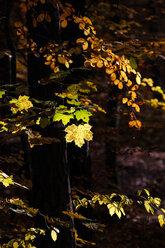 Germany, Saxony, autum leaves on tree - JTF000590