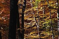 Germany, Saxony, Forest in autum - JTF000594