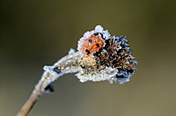 Seven-spotted ladybird, Coccinella septempunctata, covered with frost - MJOF000877