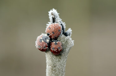 Three seven-spotted ladybirds, Coccinella septempunctata, on a twig covered with frost - MJOF000882