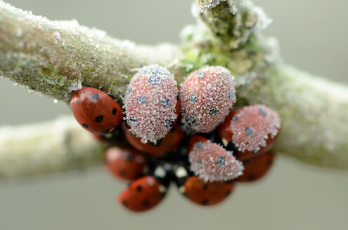 Seven-spotted ladybirds, Coccinella septempunctata, hanging at a twig covered with frost - MJOF000884